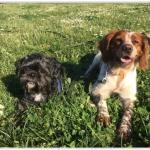elevagevilatelle-10-races-chien-formation-metierschien