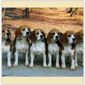 Club Français du Beagle, Beagle-Harrier et Harrier