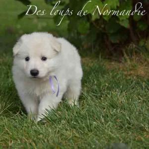 Des Loups de Normandie