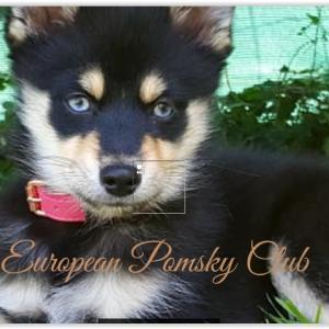 Club Européen du Pomsky