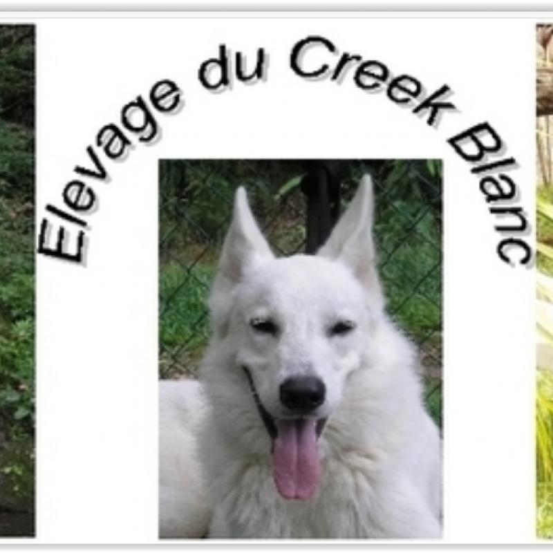 creek-blanc-elevage-berger-blanc-suisse.jpg