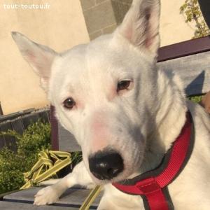 Avis de recherche chienne croisée Bull Terrier