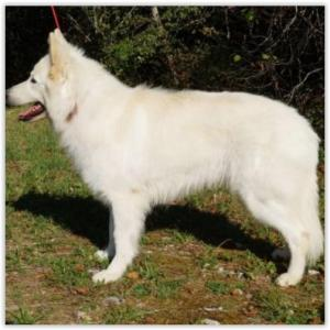 elevage-berger-blanc-suisse-Shepherds